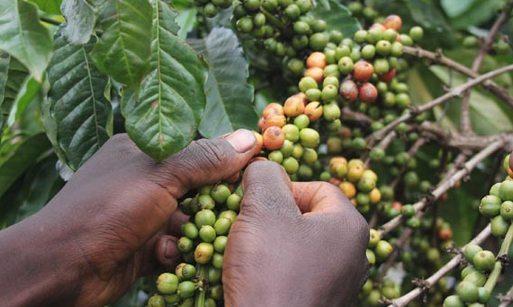 Mbale farmers and cooperatives struggle to revive a struggling coffee sector